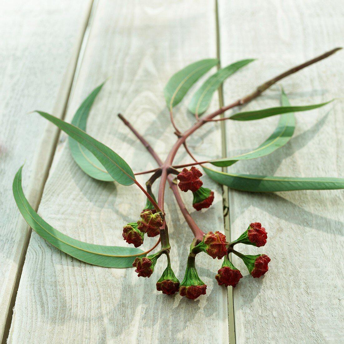 Eucalyptus twig with buds