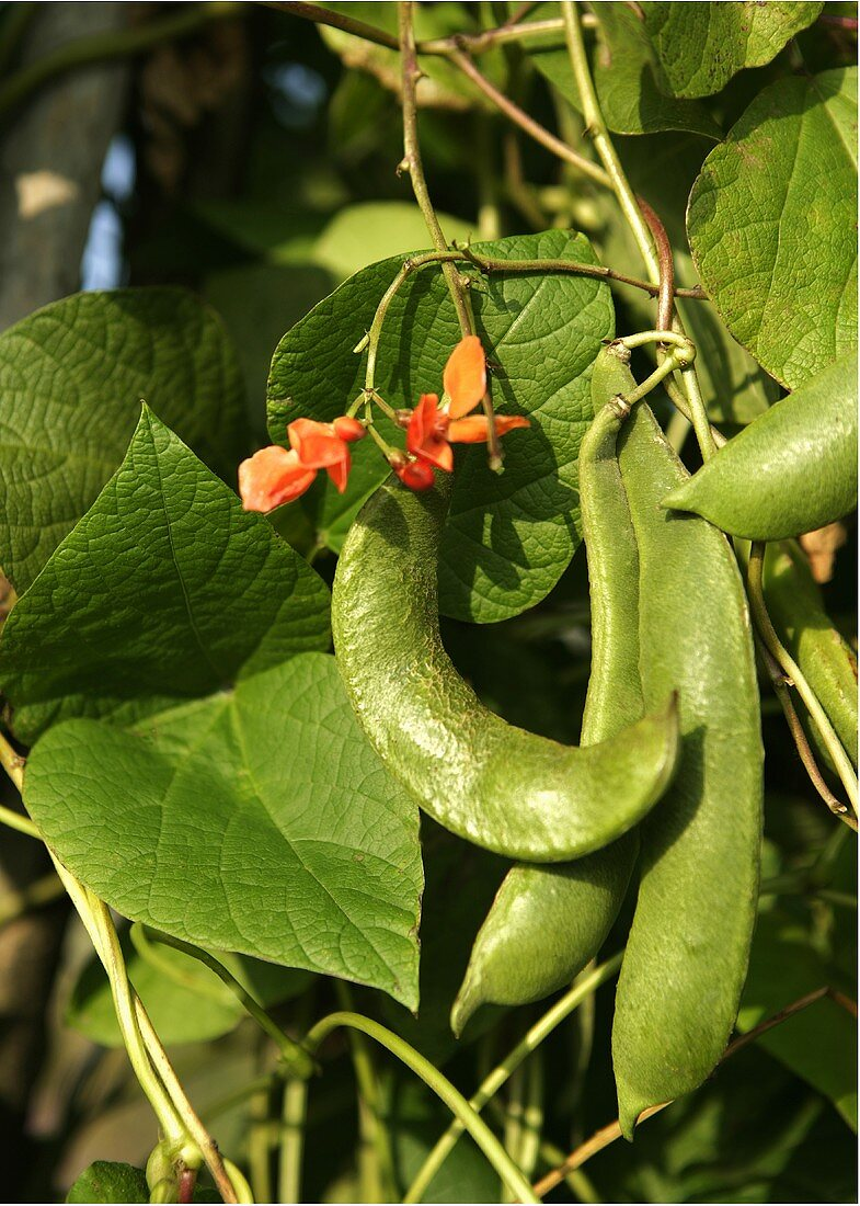 Runner beans and flowers on the plant