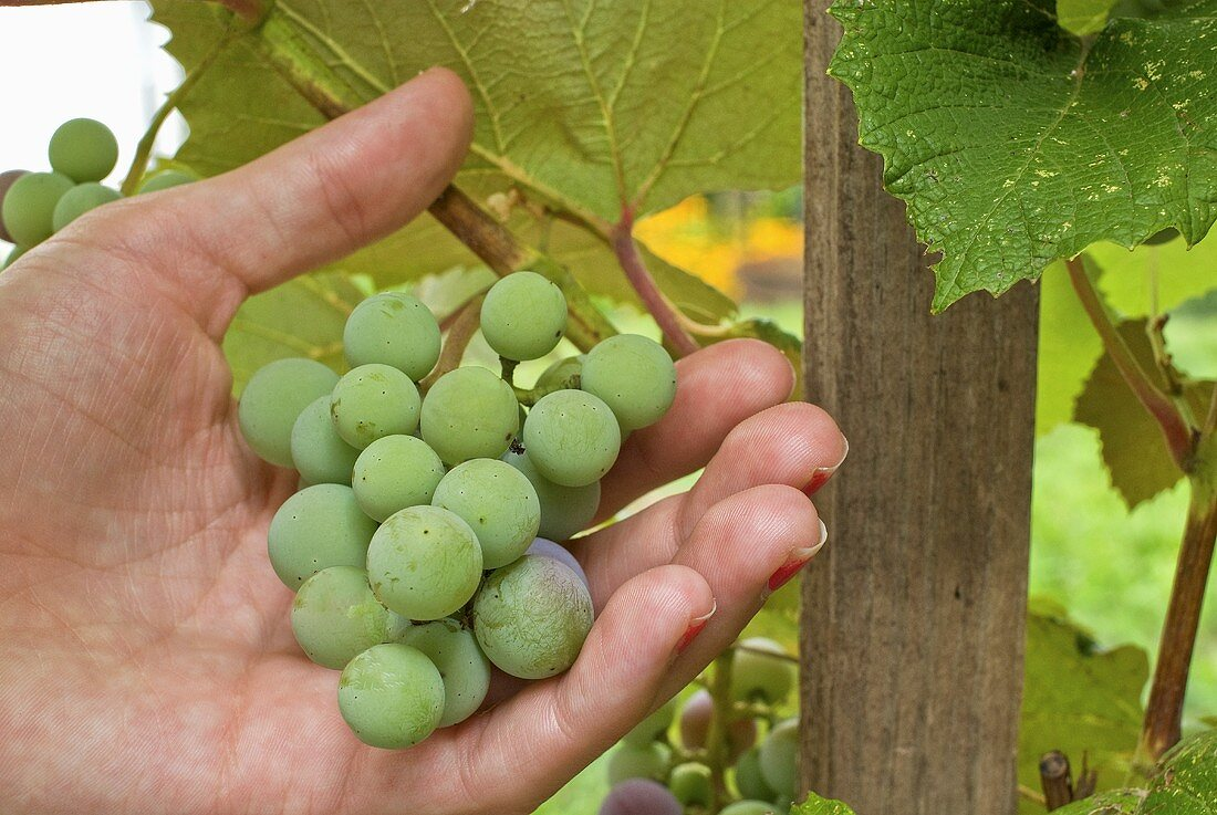 Hand Inspecting Grapes on the Vine