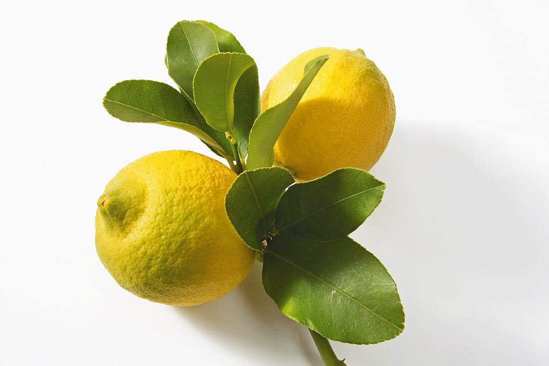 Two lemons on branch