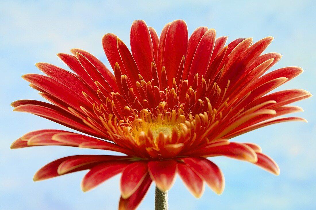 Red Gerbera against sky-blue background