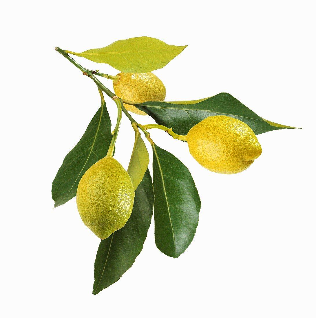 Three lemons on branch