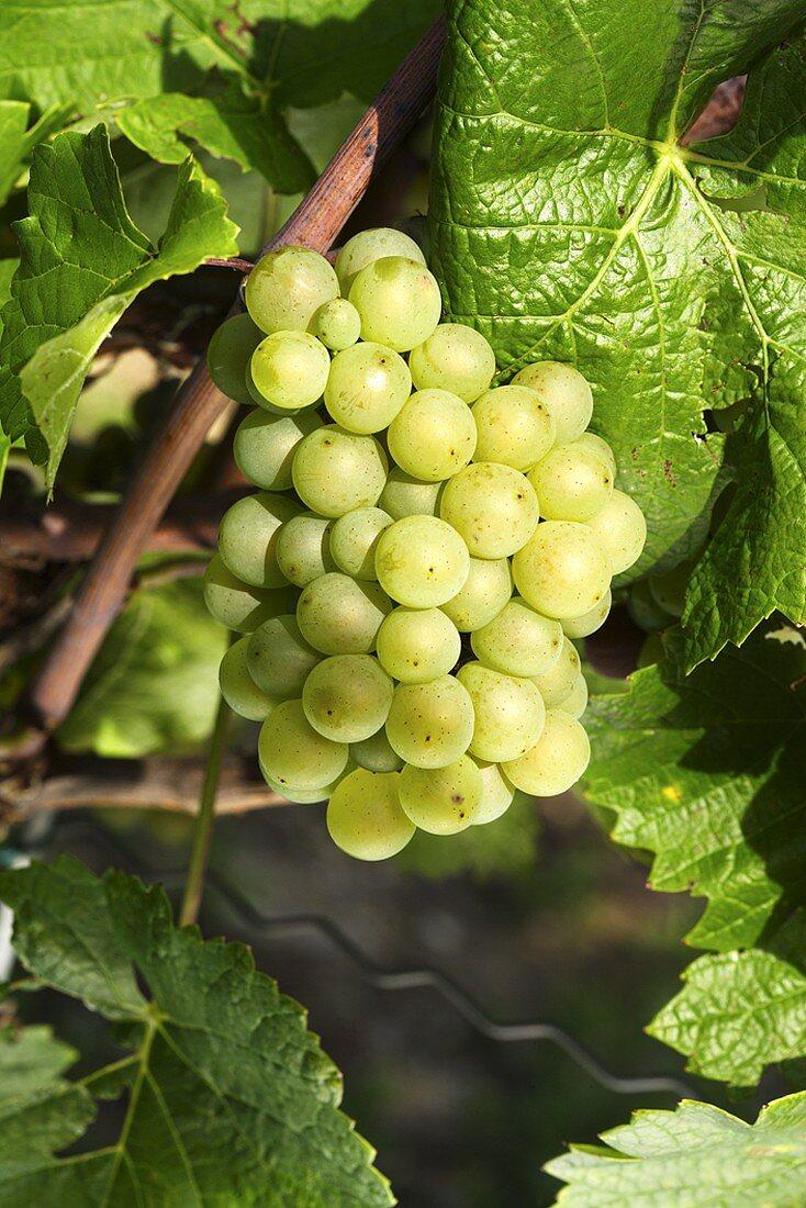 Weissburgunder grapes on the vine