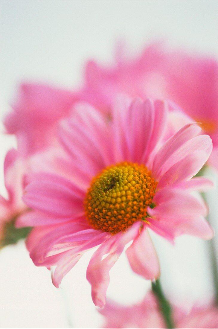 A pink daisy (close-up)