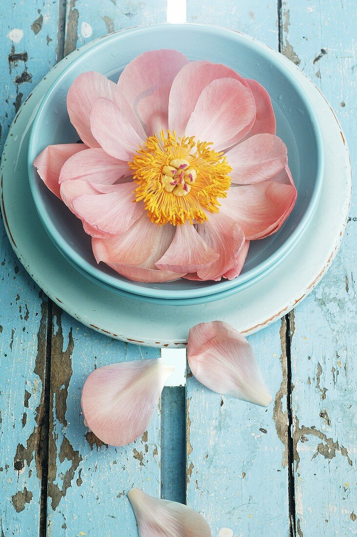 Peony in blue soup plate