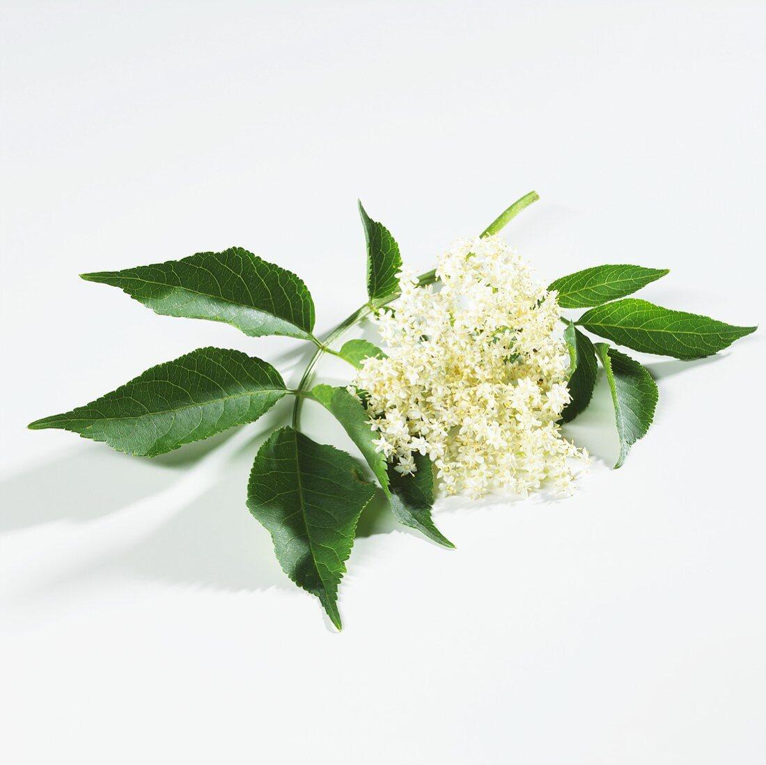 Elderflowers with leaves