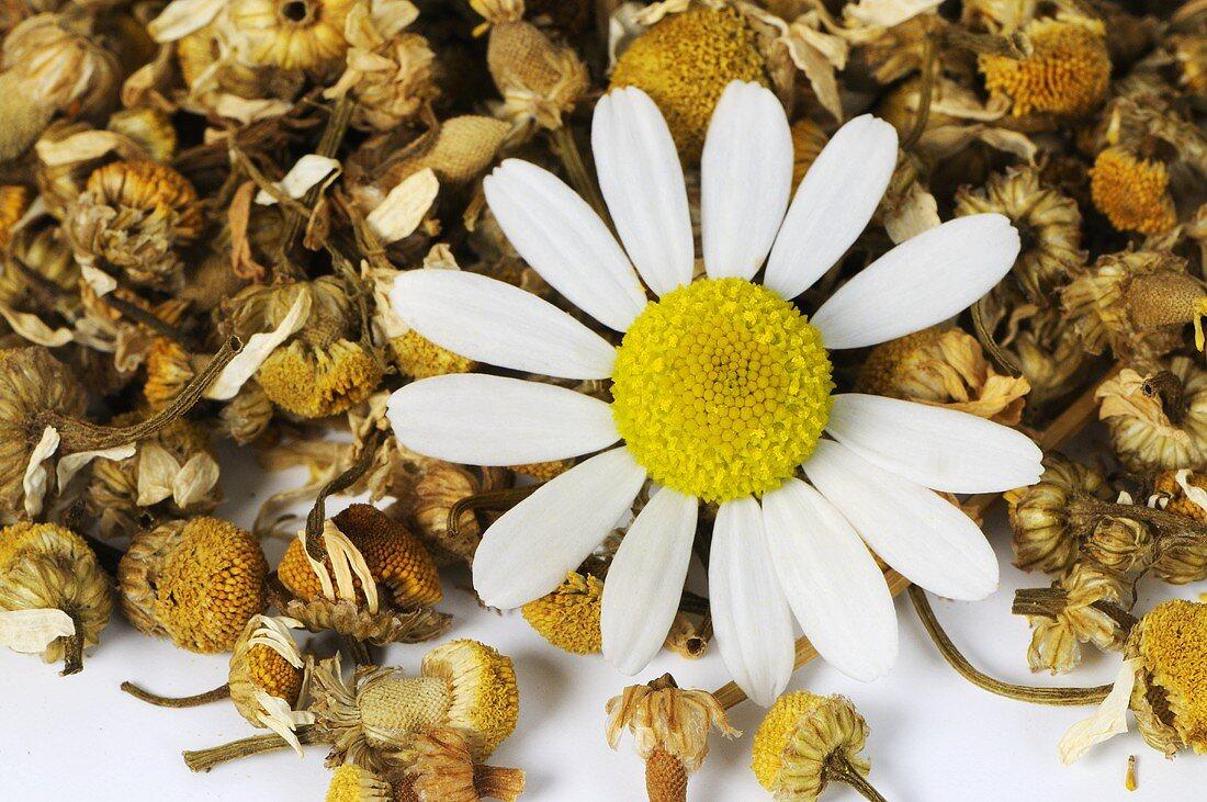 Camomile (Matricaria chamomilla)