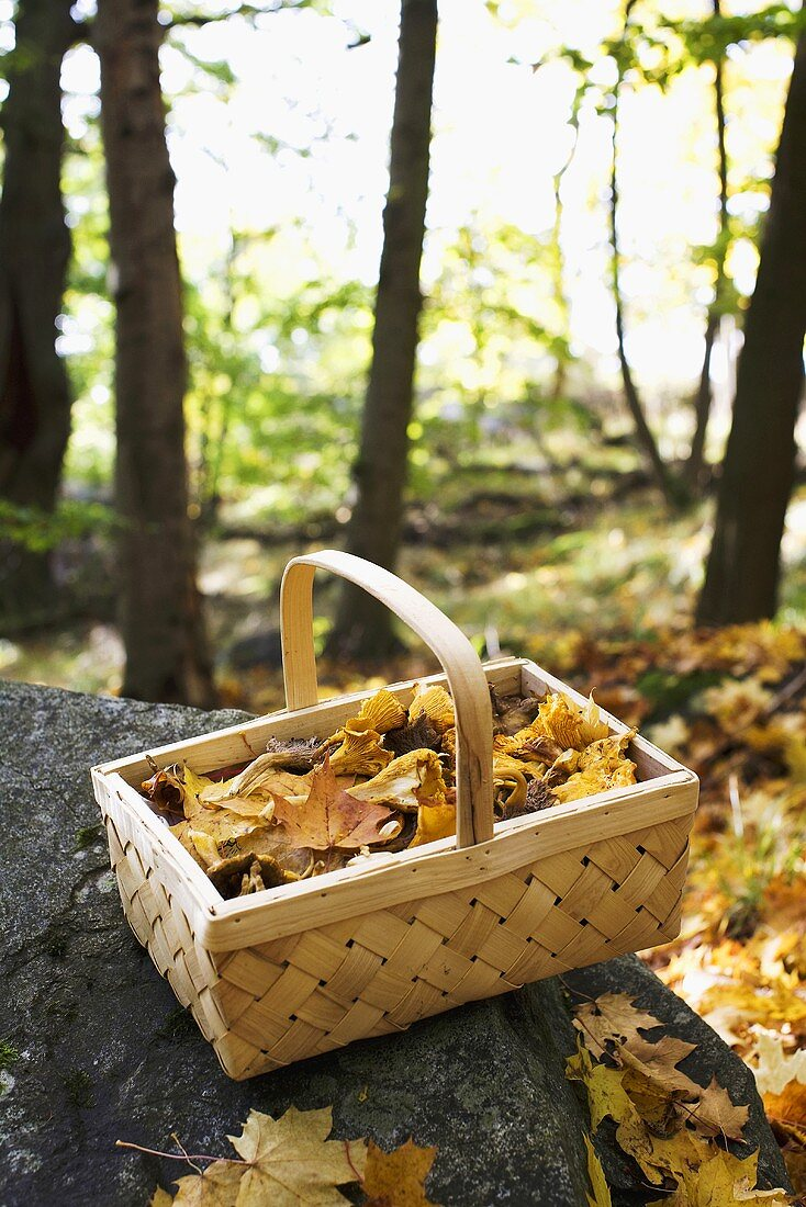 Basket of chanterelles and autumn leaves