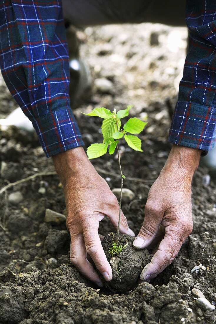 Hands Planting a Seedling, close-up