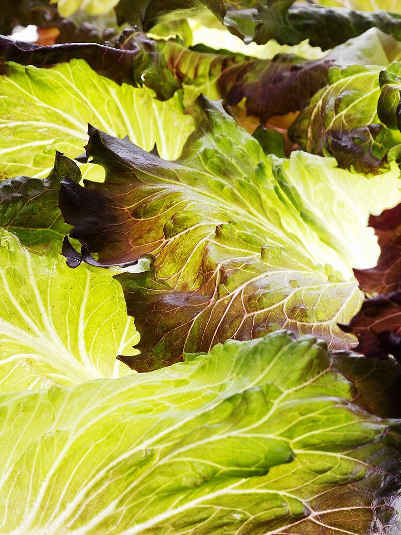 Assorted lettuce leaves