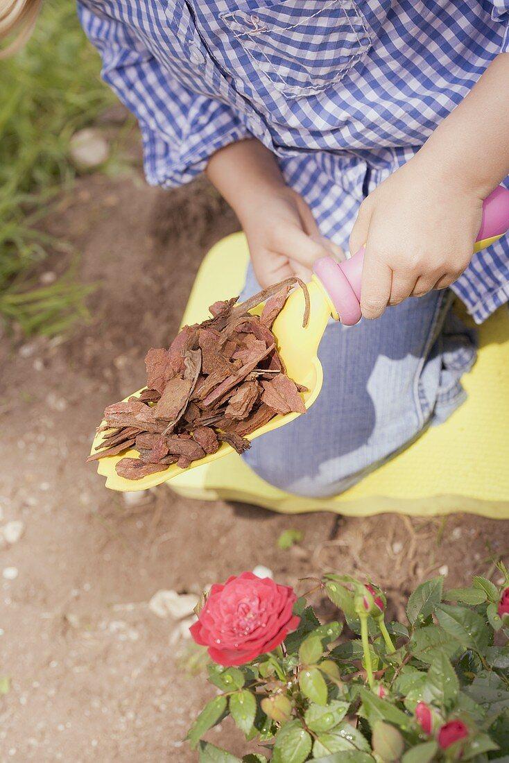 Child spreading bark mulch around rose bush with spade