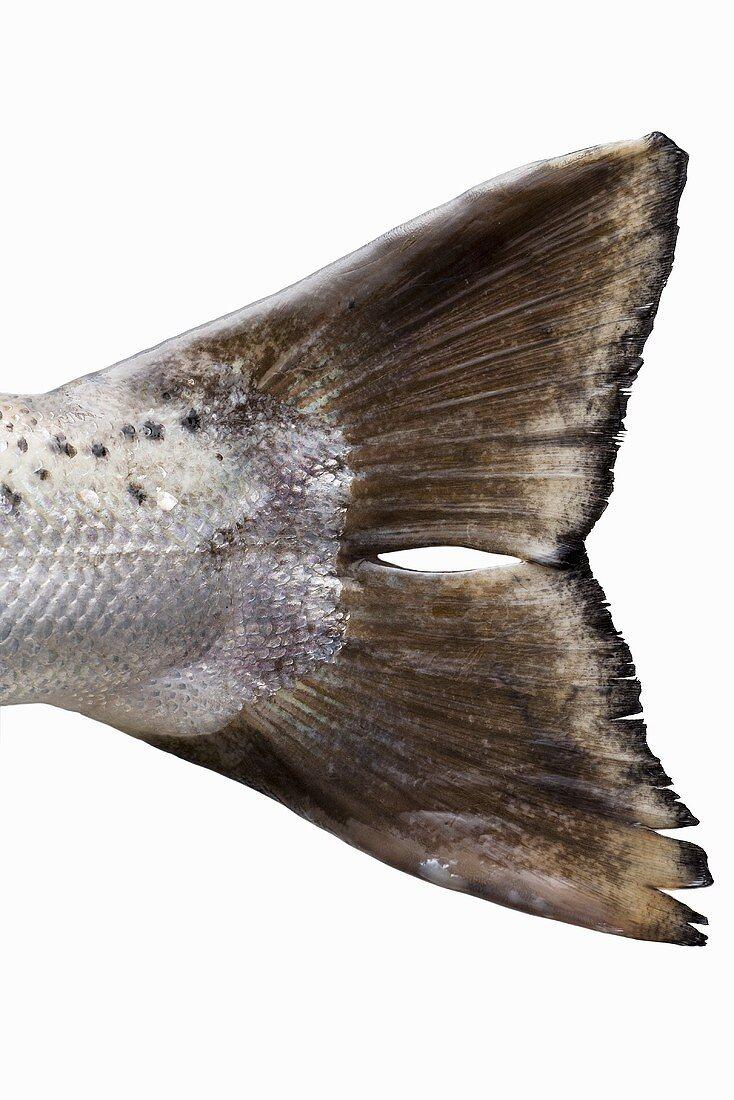 Tail fin of a Tasmanian salmon