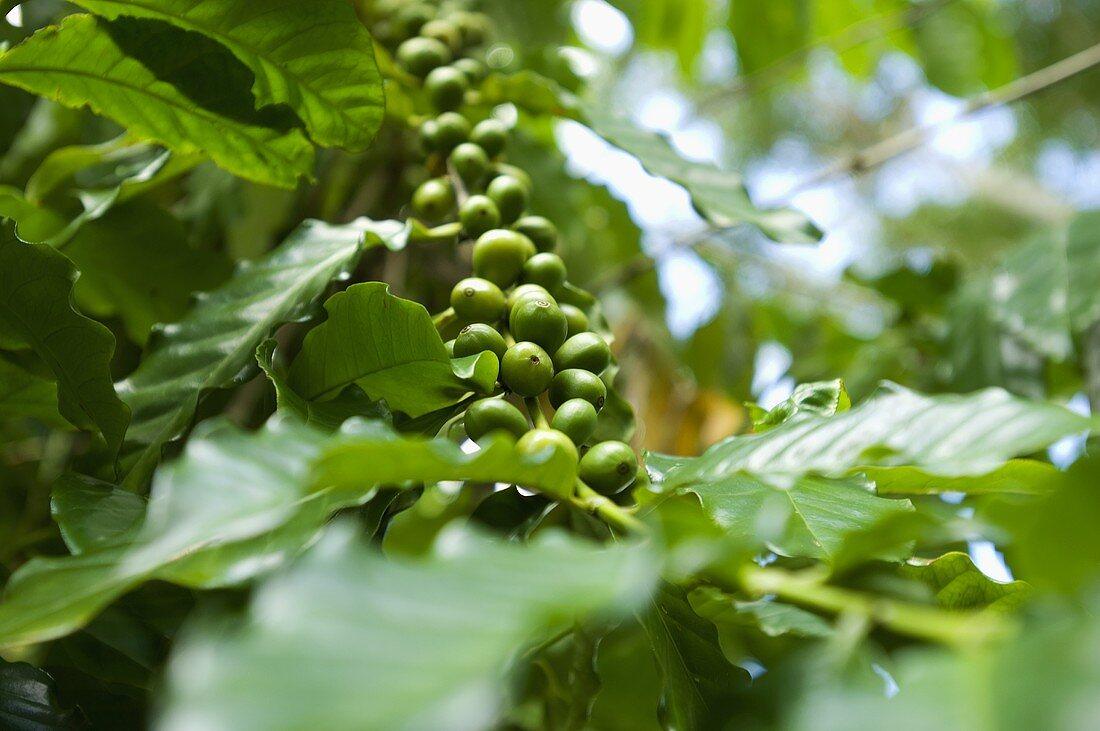 Coffee cherries (unroasted coffee beans)