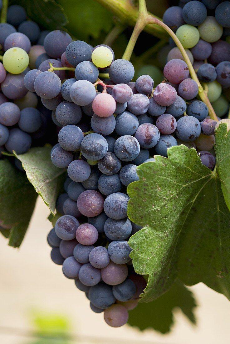Alicante grapes on the vine