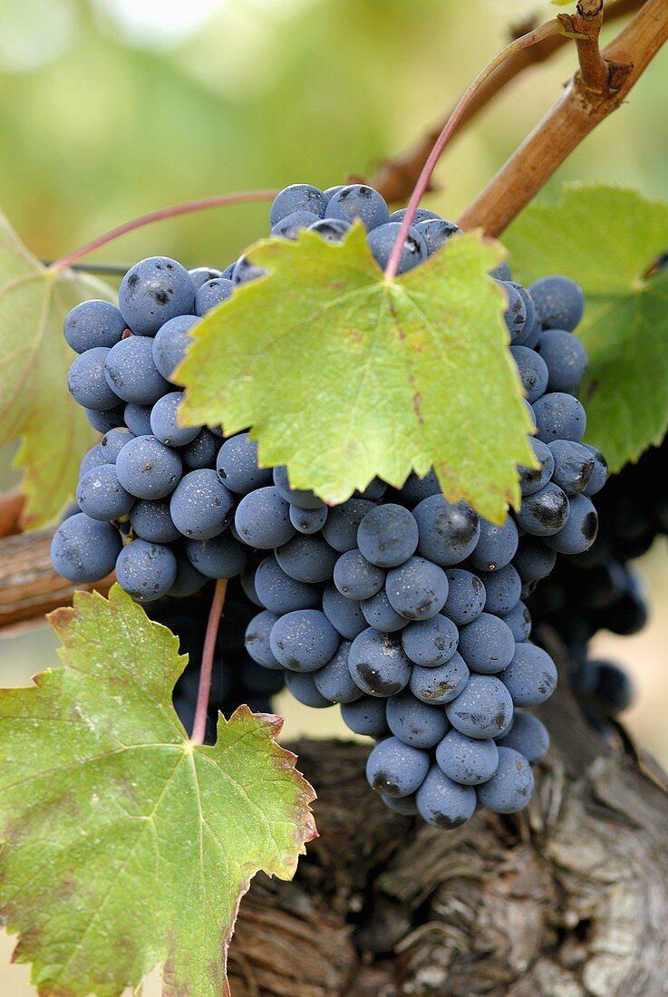 Baga grapes on the vine