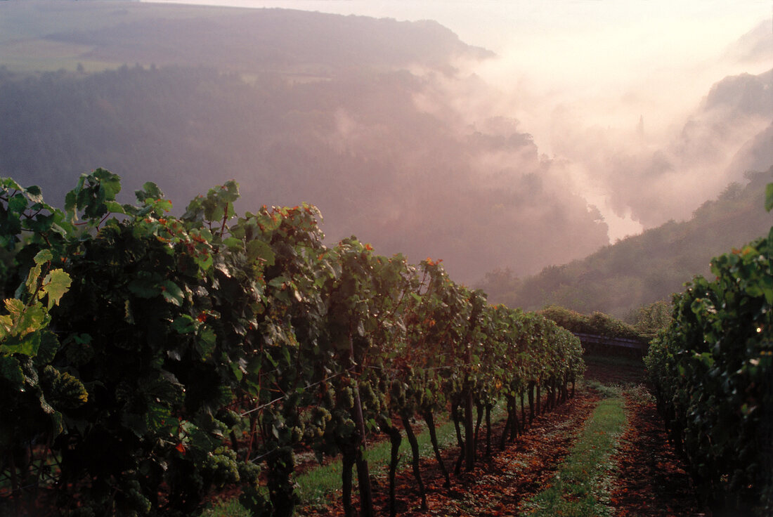 White wine yards in misty valley of the Nahe in Oberhausen, Germany