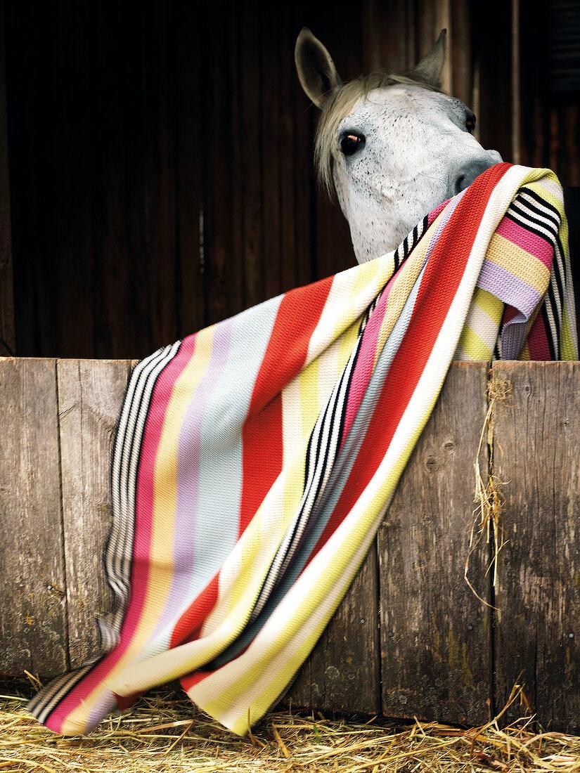 eine Decke liegt in einem Pferdestall, ein Pferd zieht daran