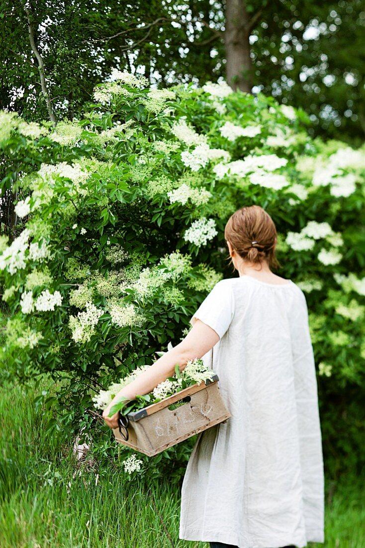 A woman picking elder flowers