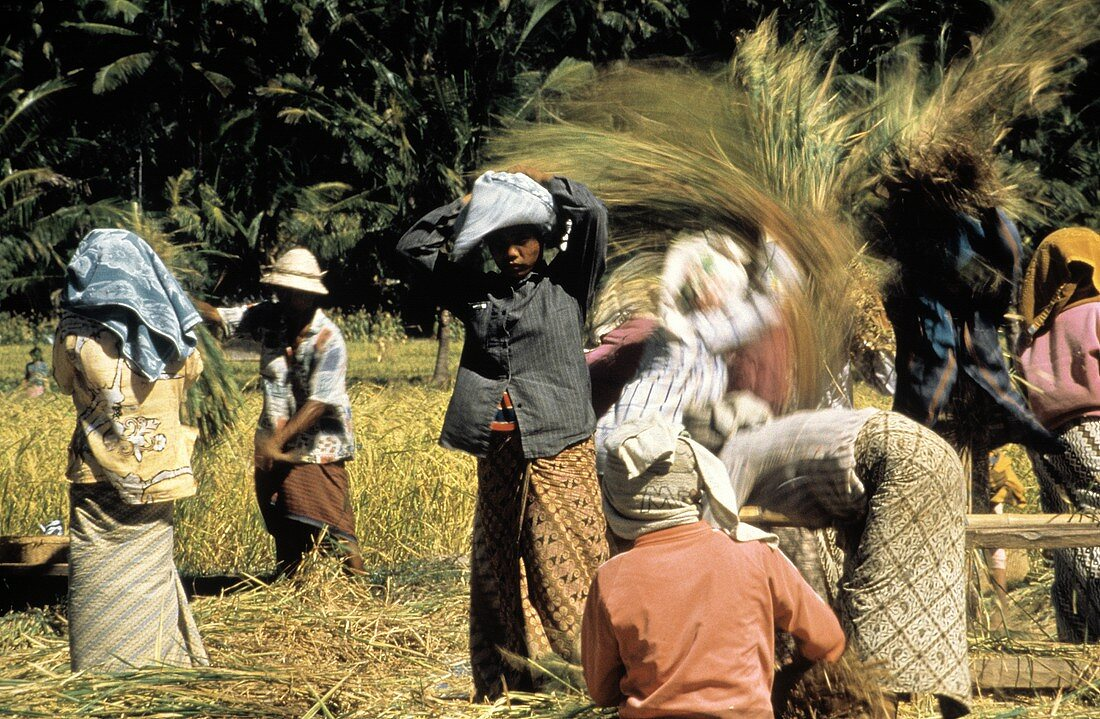 Workers Threshing in Rice Field
