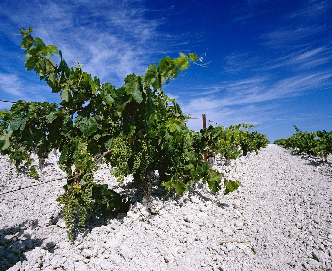 Palomino-Reben für Sherry im Kalkboden bei Jerez, Spanien