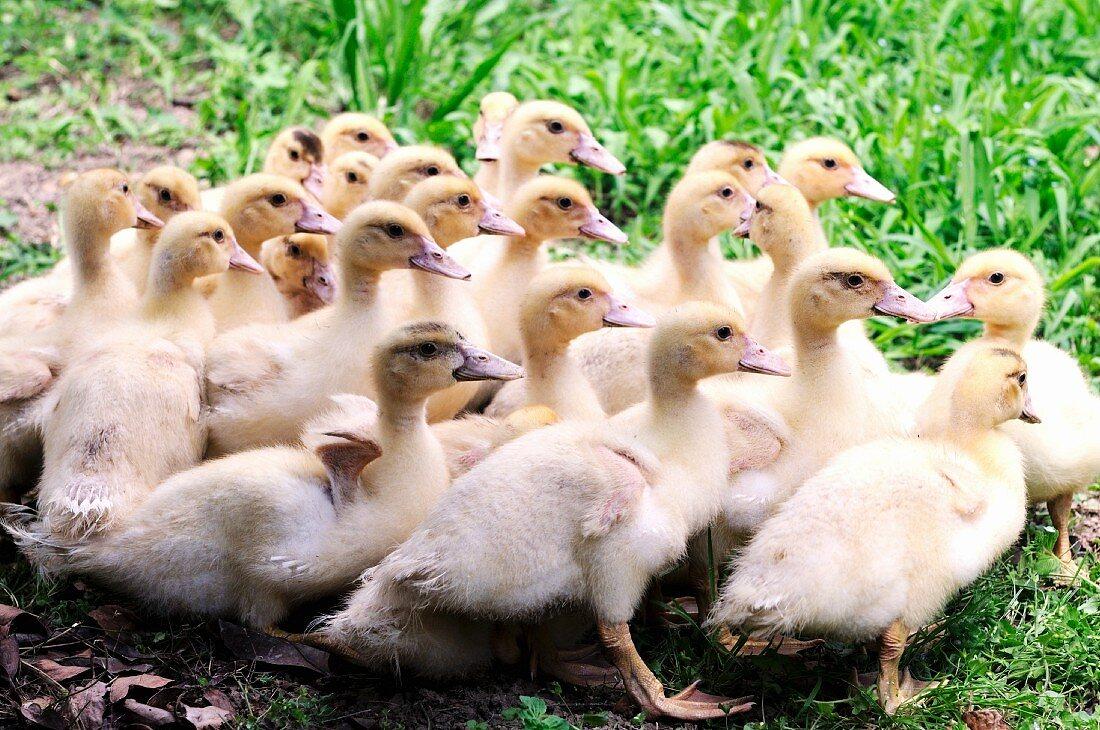 Baby ducks outside
