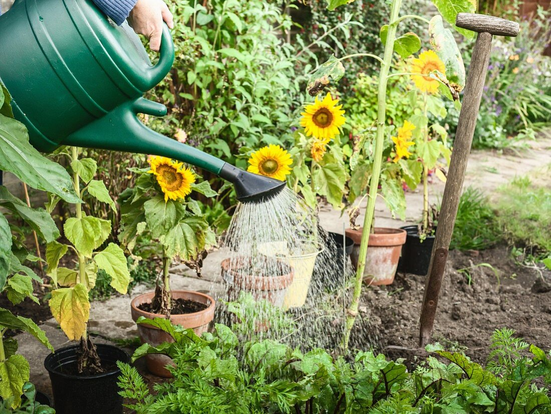 Hand watering plants in backyard