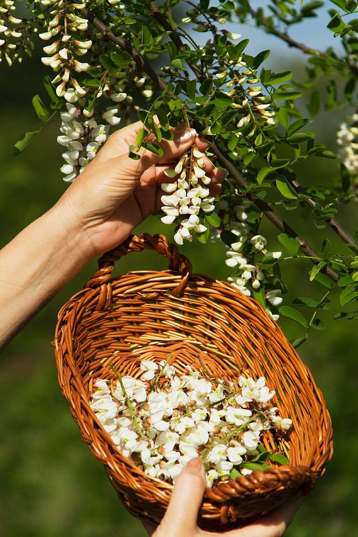 A hand picking acacia flowers from a tree