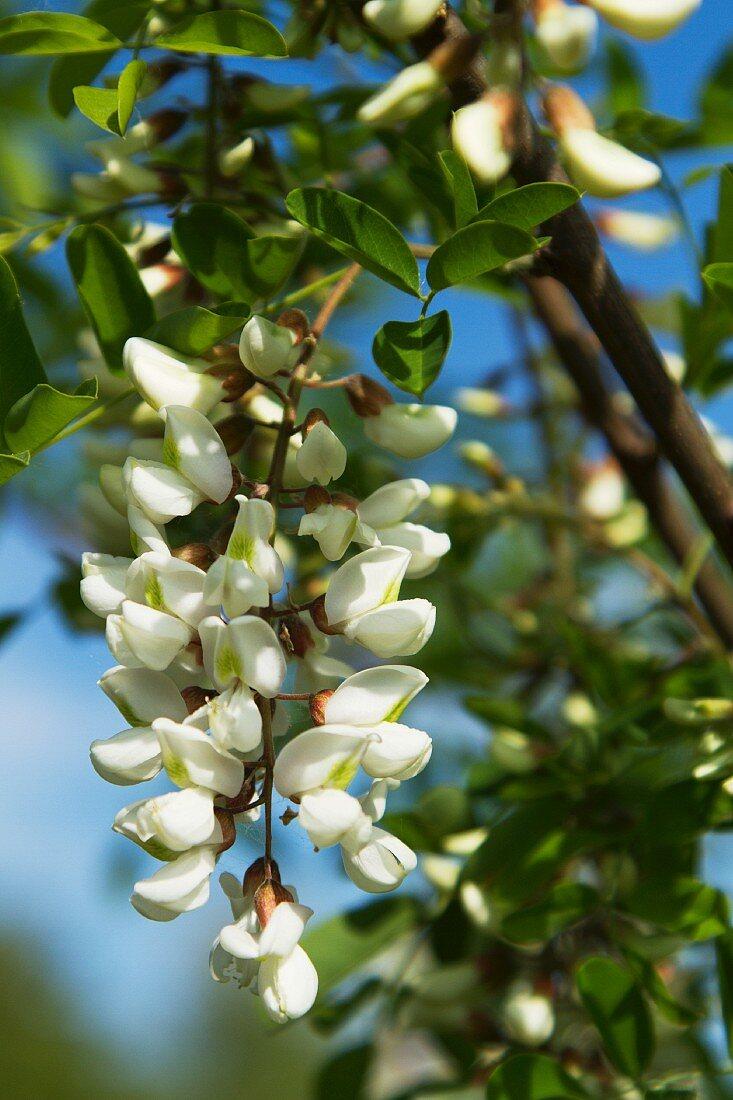 Akazienblüten am Baum (Close Up)