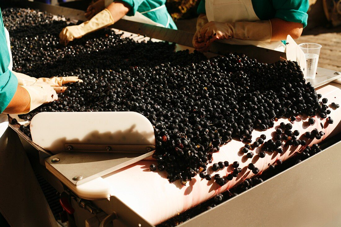 Grapes on a Conveyer Belt at Marques de Riscal Winery in Rioja, Spain