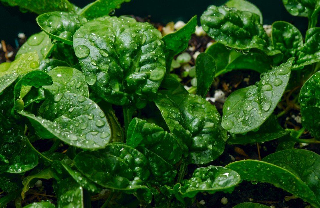 Baby Spinach; Wet