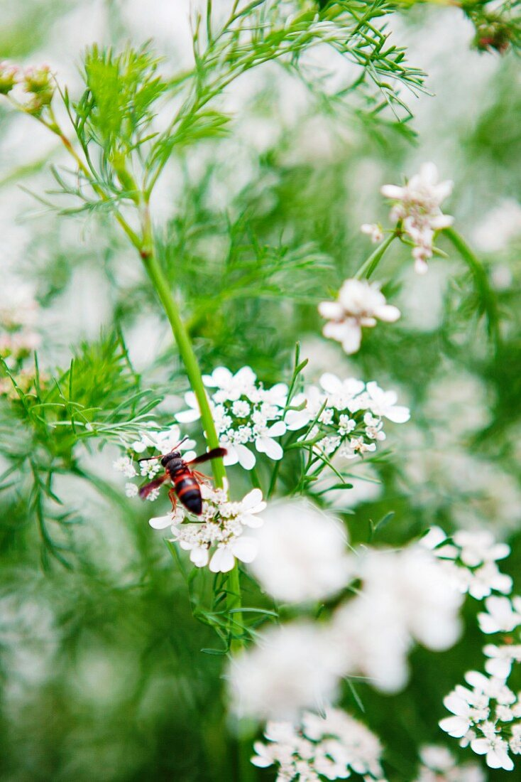 A bee on white flowers