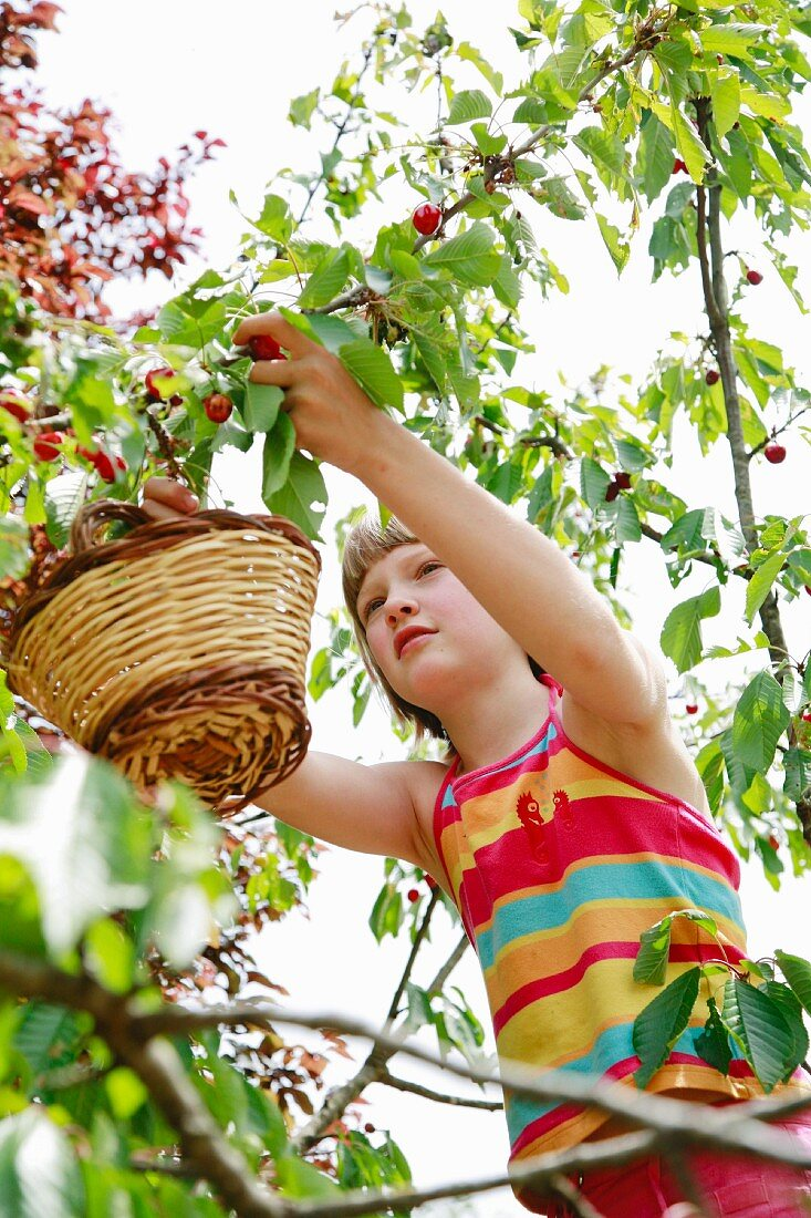 Girl picking cherries