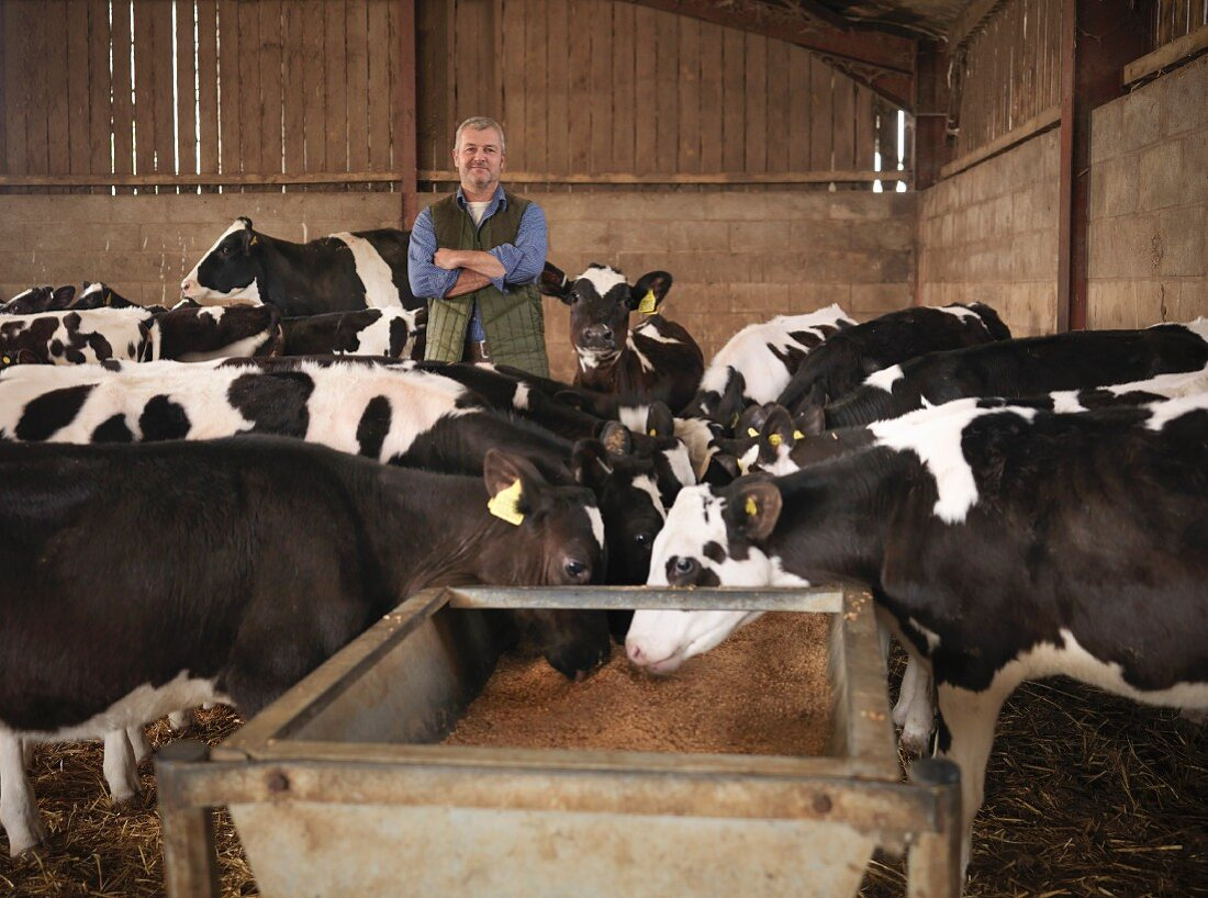 A farmer in a barn with dairy cows