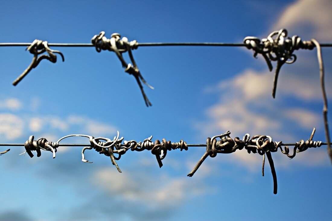 Lignified vines on wire in a vineyard