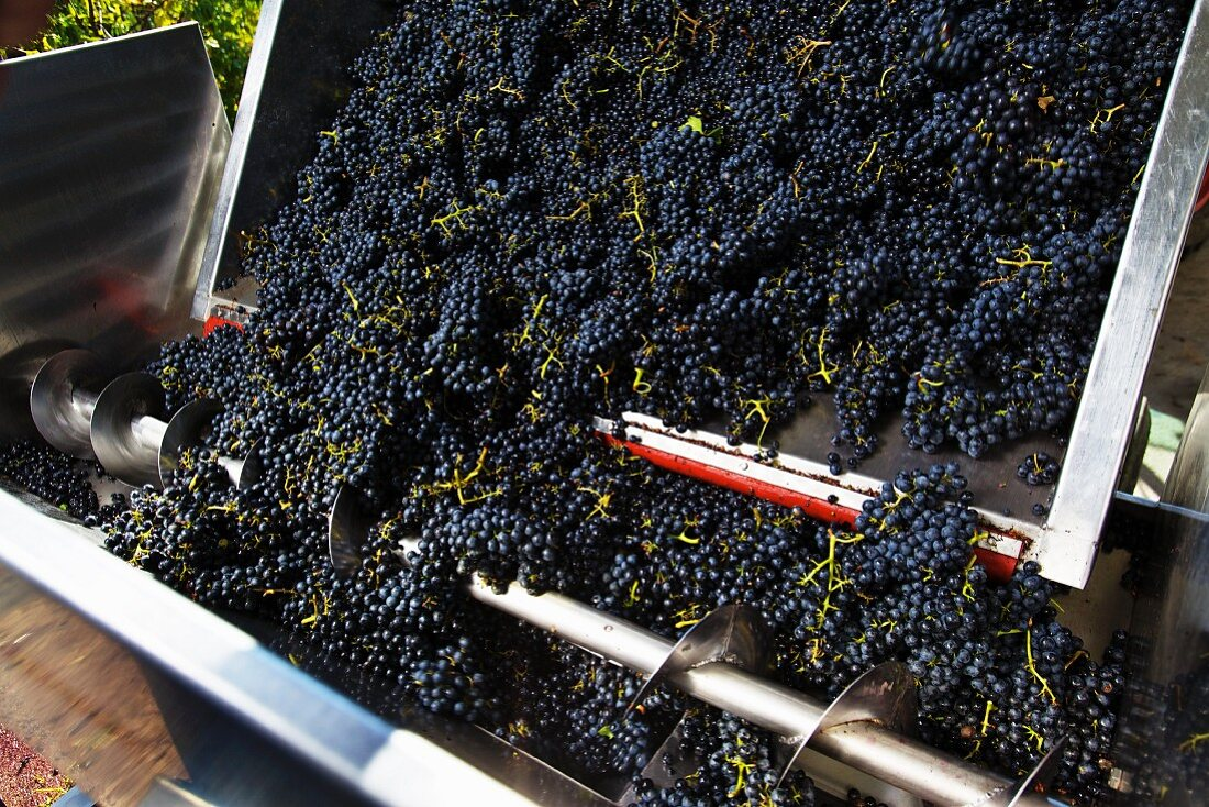 Red wine grapes falling from a trailer into a screw-conveyor