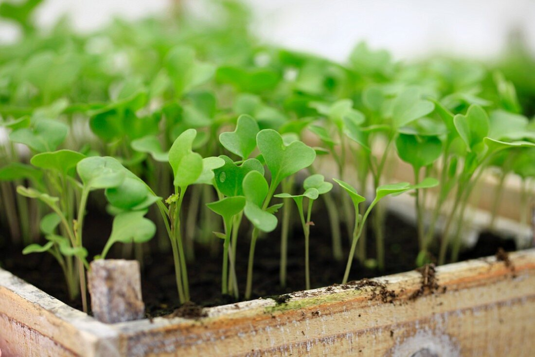 Cabbage seedlings in wooden crate
