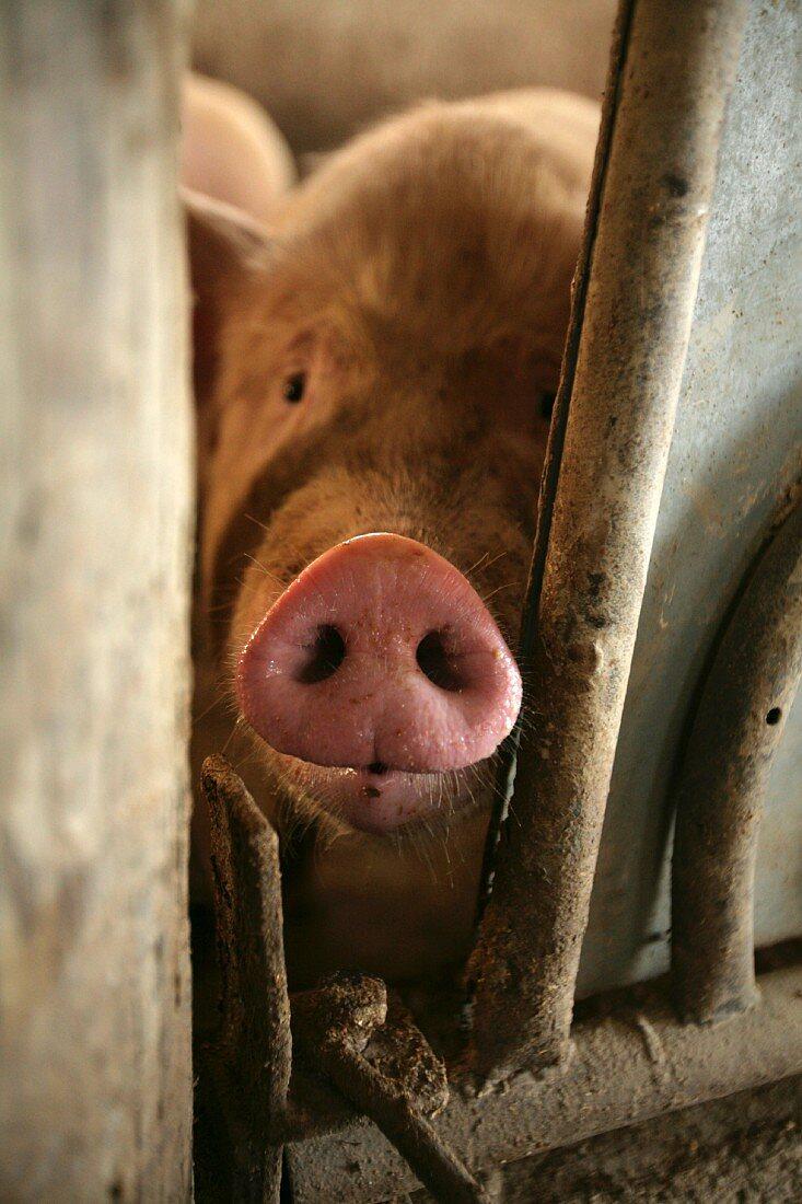 A piglet looking through a crack