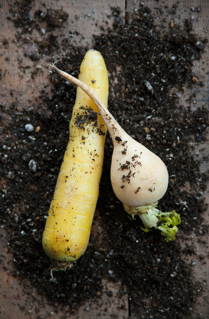 A yellow carrot (Pfälzer Lobbericher) and a turnip