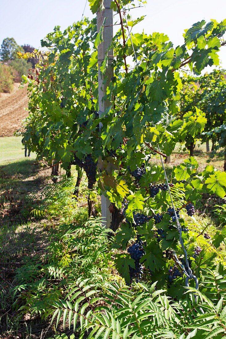 Merlot-Barbera grapes on a vine