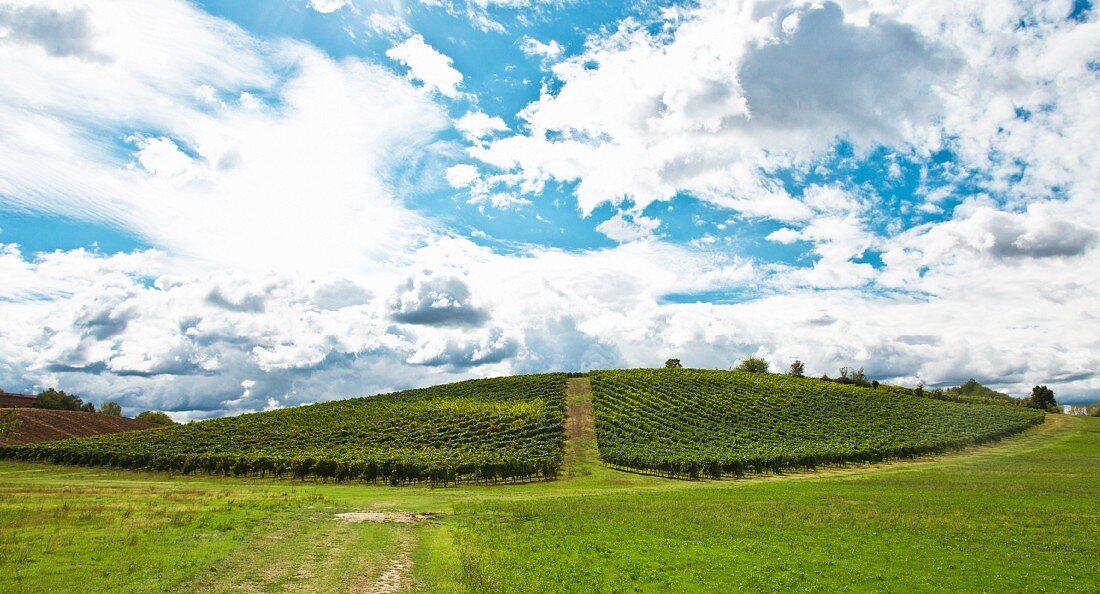 A barbera vineyard near Bazzano
