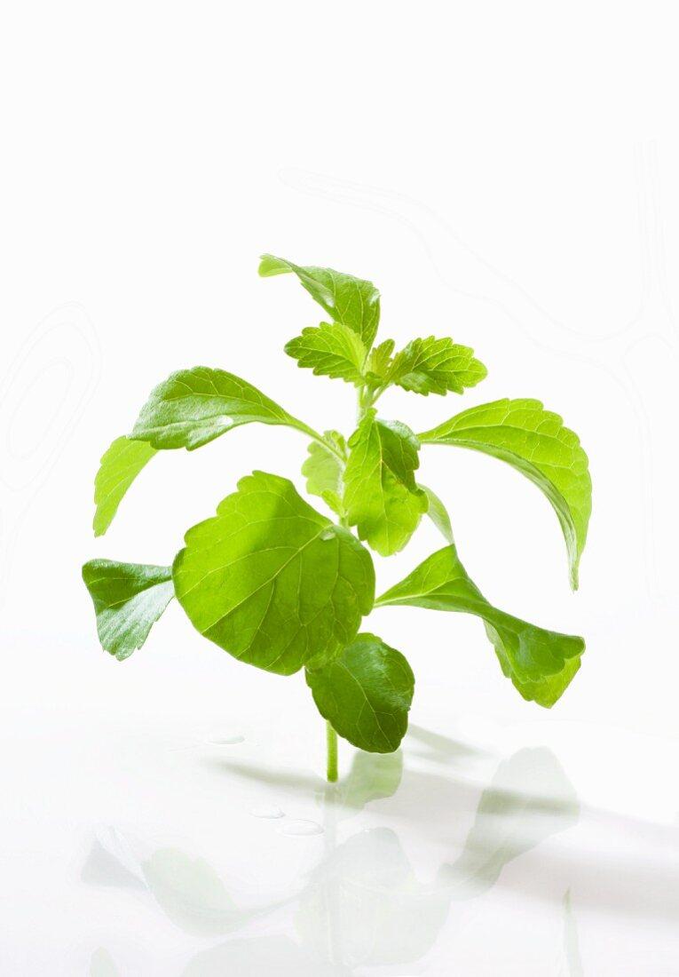 A stevia plant against a white background