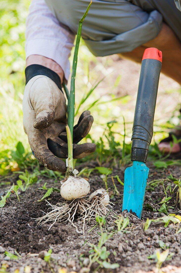 Gardener harvesting a white onion