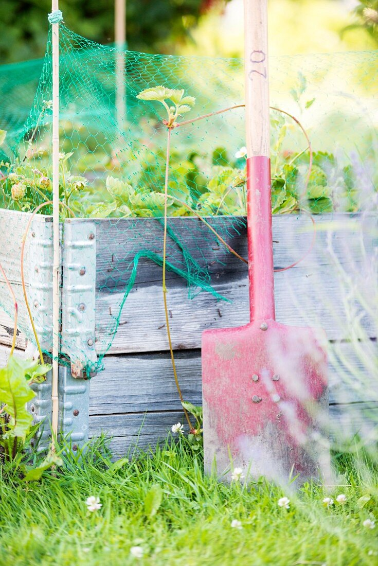 Spade leaning against raised bed of strawberries in garden