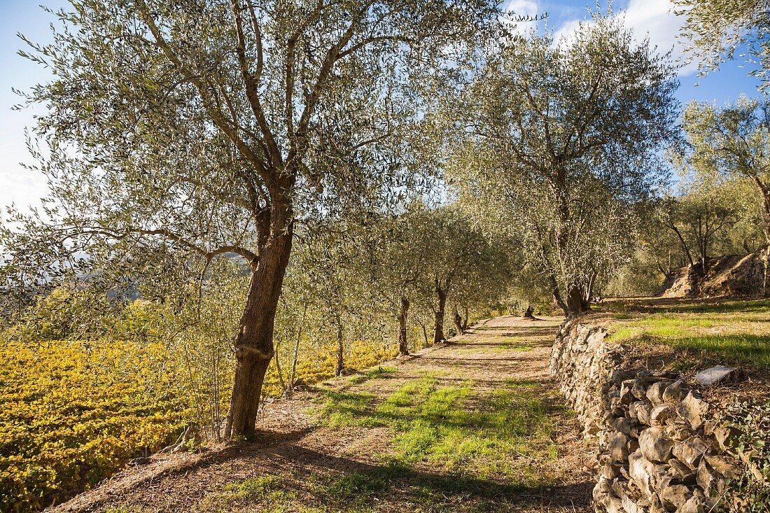 Olivenhain mit angrenzendem, spätsommerlichem Weingarten