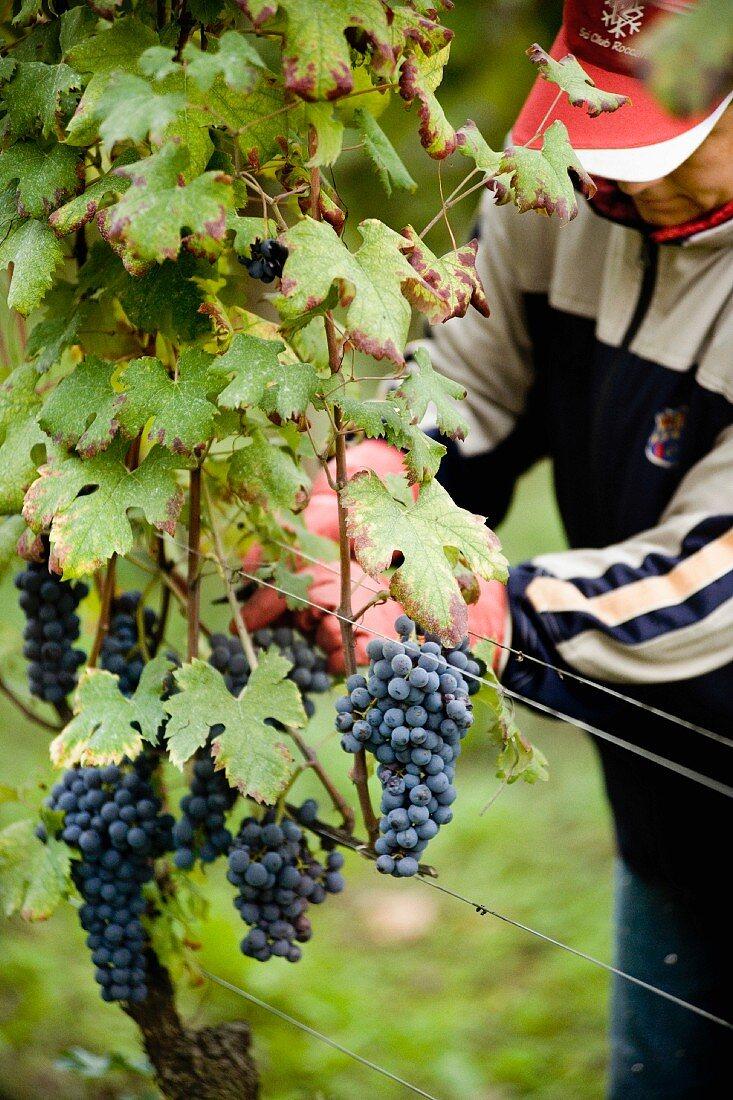 A grape picker harvesting grapes