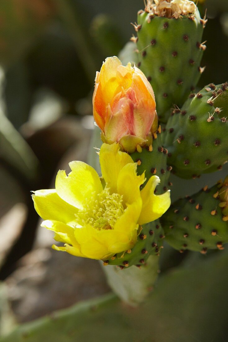Cactus flowers on the plant