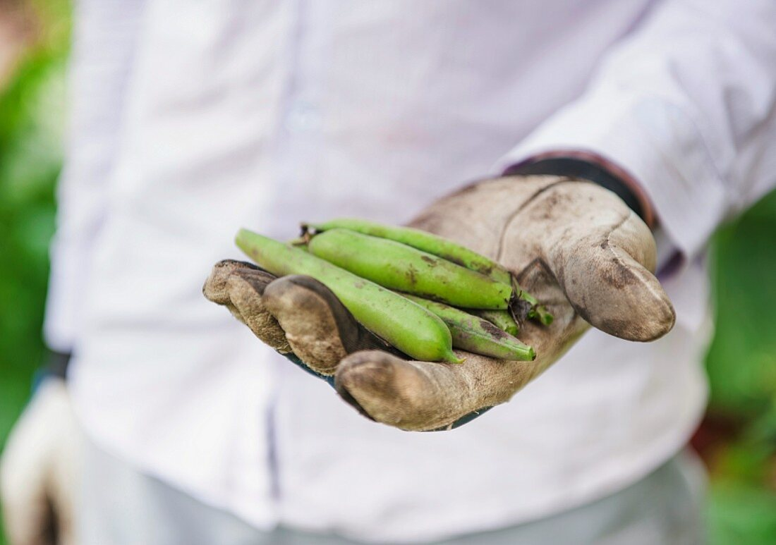 Hand clad in gardening gloves holding fava bean pods (Vicia faba)