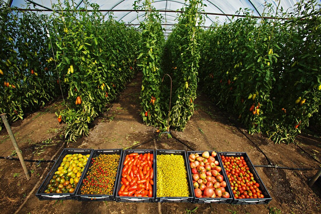 A greenhouse with rare varieties of organic tomatoes