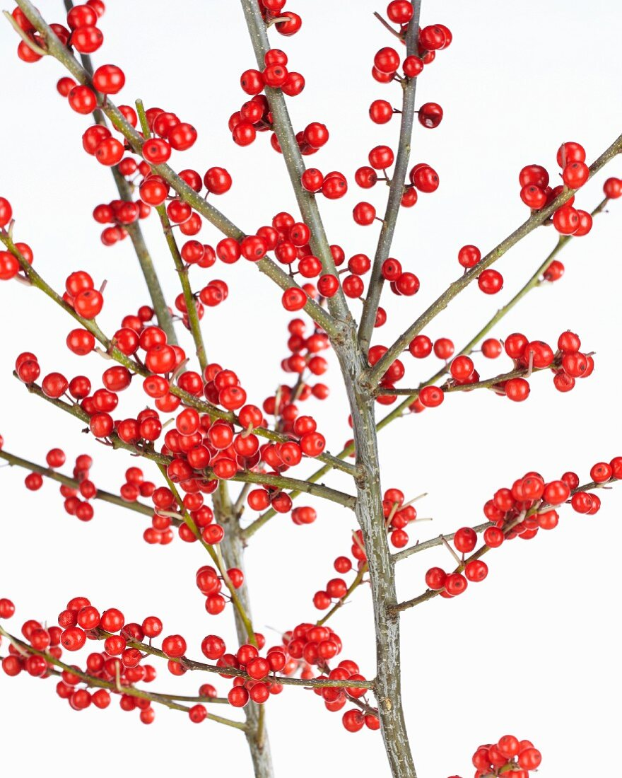 Holly berries (Ilex verticillata) on the branch against a white background