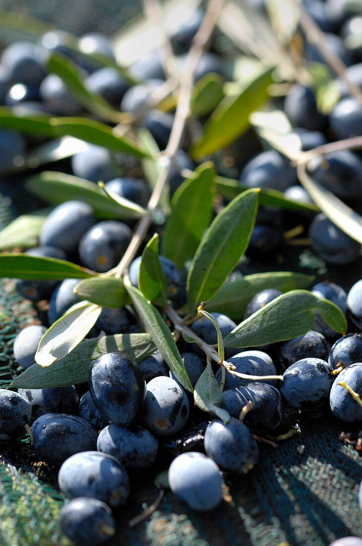 Black olives on the twig